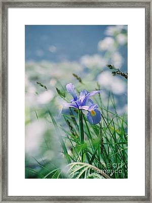 Periwinkle Iris Framed Print by Nadine Rippelmeyer