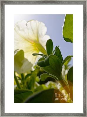 Petunia And Sunflare Framed Print by Ray Laskowitz - Printscapes