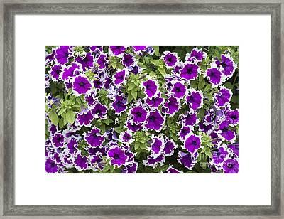 Petunia Corona Amethyst Framed Print by Tim Gainey