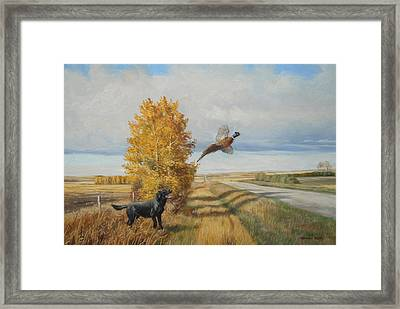 Pheasant Flush Framed Print by Norman Kelly