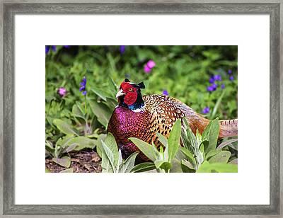 Pheasant Framed Print by Martin Newman
