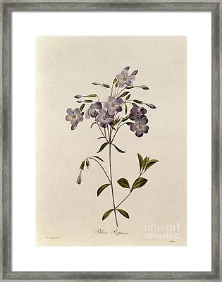 Phlox Reptans Framed Print by Pierre Joseph Redoute