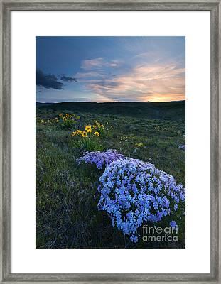 Phlox Sunset Framed Print by Mike Dawson