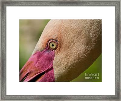 Phoenicopterus Roseus - Macro Framed Print by Svetlana Ledneva-Schukina