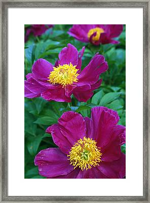 Pianese Flowers Framed Print by Natural Selection Tony Sweet