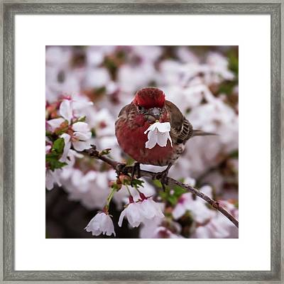 Picked For You House Finch Square Framed Print by Terry DeLuco