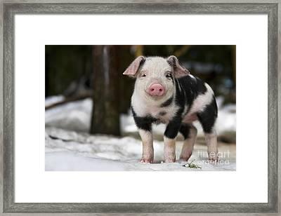 Piglet Portrait Framed Print by Jean-Louis Klein & Marie-Luce Hubert