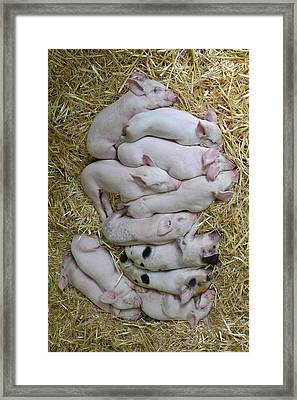 Piglets Framed Print by Rebecca Richardson