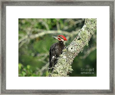 Pileated Perch Framed Print by Al Powell Photography USA