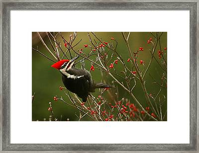 Pileated Woodpecker Framed Print by Alan Lenk