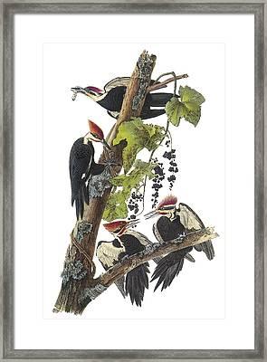 Pileated Woodpecker Framed Print by John James Audubon
