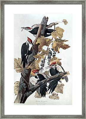 Pileated Woodpeckers Framed Print by John James Audubon