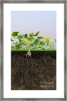 Pilewort Or Lesser Celandine Ranunculus Ficaria - Root System -  Framed Print by Urft Valley Art