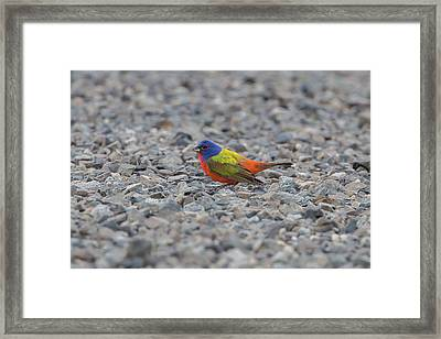 Pin Cushion On The Rocks Framed Print by Ronnie Maum