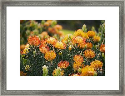 Pin Cushion Protea Bush Framed Print by Ron Dahlquist - Printscapes