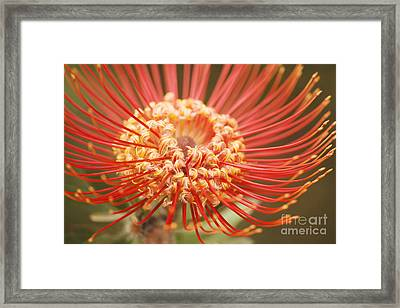 Pin Cushion Protea Macro Framed Print by Ron Dahlquist - Printscapes