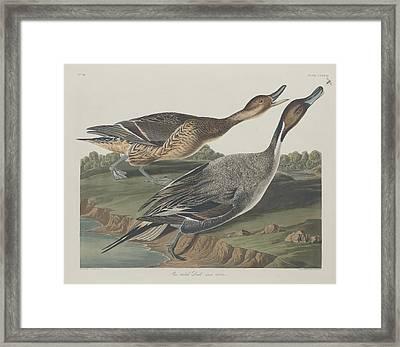 Pin-tailed Duck Framed Print by John James Audubon