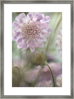Pincushion Flower Framed Print by Bonnie Bruno
