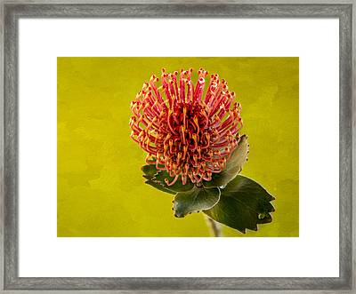 Pincushion Protea Framed Print by Jean Noren