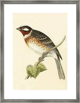 Pine Bunting Framed Print by English School