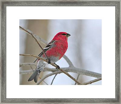 Pine Grosbeak Framed Print by Tony Beck