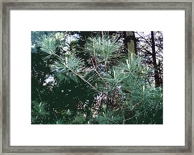 Pine Needles Framed Print by Mindy Newman