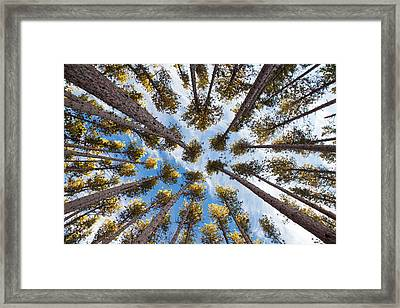 Pine Tree Vertigo Framed Print by Adam Pender