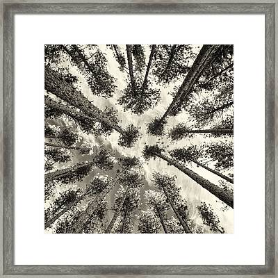 Pine Tree Vertigo - Square Sepia Framed Print by Adam Pender