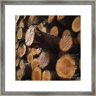 Pine Trees Framed Print by Bernard Jaubert