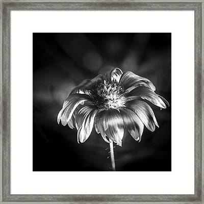 Pineapple Butter Cup B/w Framed Print by Marvin Spates