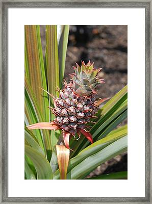 Pineapple Framed Print by Don  Wright