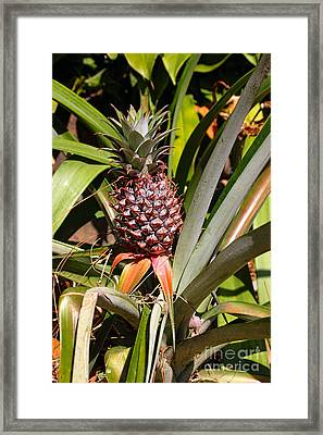Pineapple In Nature By Kaye Menner Framed Print by Kaye Menner