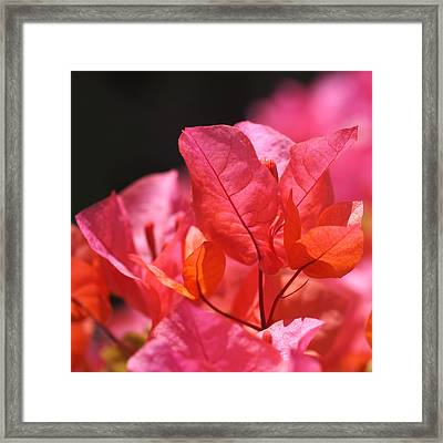Pink And Orange Bougainvillea - Square Framed Print by Rona Black