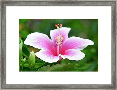 Pink And White Hibiscus Flower. Framed Print by Sean Davey