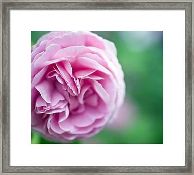 Pink Bourbon Rose Louise Odier Framed Print by Frank Tschakert