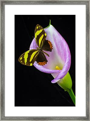 Pink Calla And Beautiful Butterfly Framed Print by Garry Gay