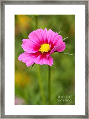 Pink Cosmo Framed Print by Steve Augustin