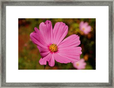 Pink Cosmos Framed Print by Beth Collins