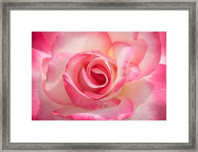 Pink Cotton Candy Rose Framed Print by Ana V  Ramirez