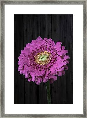 Pink Daisy Surrealism Framed Print by Garry Gay