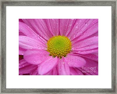 Pink Daisy With Raindrops Framed Print by Carol Groenen