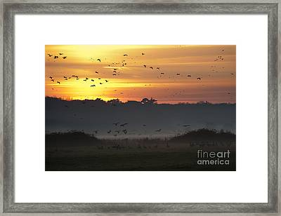 Pink Footed Geese At Holkham Norfolk Uk Framed Print by John Edwards
