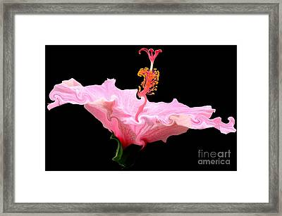 Pink Hibiscus With Curlicue Effect Framed Print by Rose Santuci-Sofranko