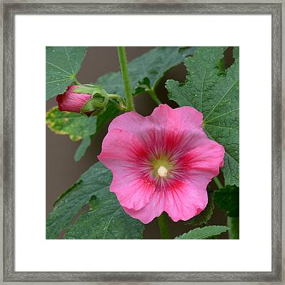 Pink Holly Hock Framed Print by Ed Mosier