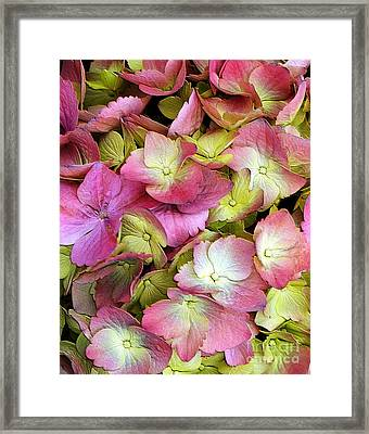 Pink Hydrangea Framed Print by Kathleen Struckle
