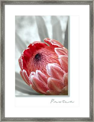 Pink Ice Protea Framed Print by Holly Kempe