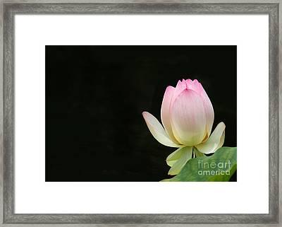 Pink Lotus Bud Framed Print by Sabrina L Ryan