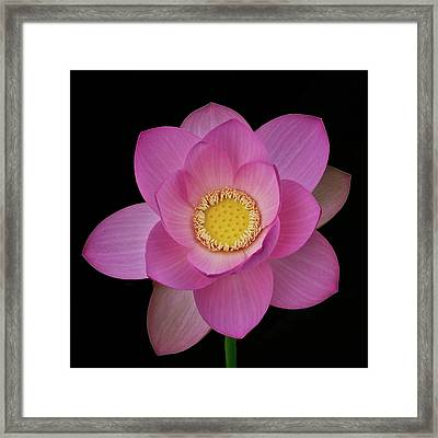 Pink Lotus In Full Bloom Framed Print by Janet Chung
