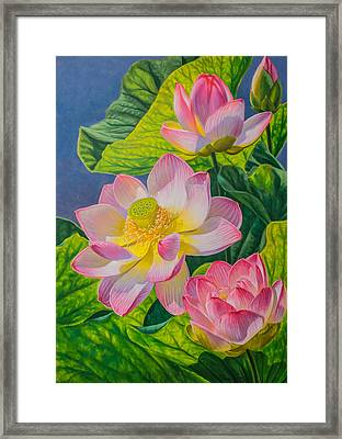 Pink Lotuses Framed Print by Fiona Craig