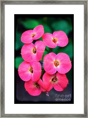 Pink Orchid Crown Of Thorns Framed Print by Sue Melvin